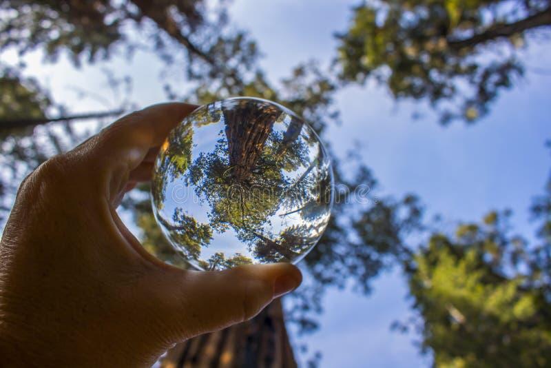 Árvore gigante antiga da sequoia da sequoia vermelha na opinião de baixo ângulo da bola de vidro imagem de stock