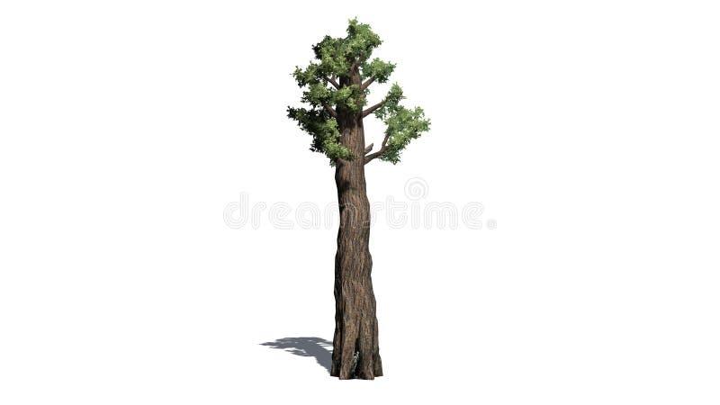 Árvore gigante do Redwood ilustração royalty free