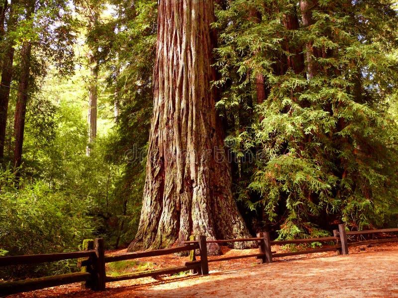 Árvore gigante do Redwood foto de stock royalty free