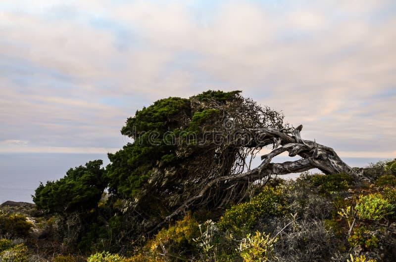 Árvore Gnarled do zimbro dada forma pelo vento imagem de stock royalty free