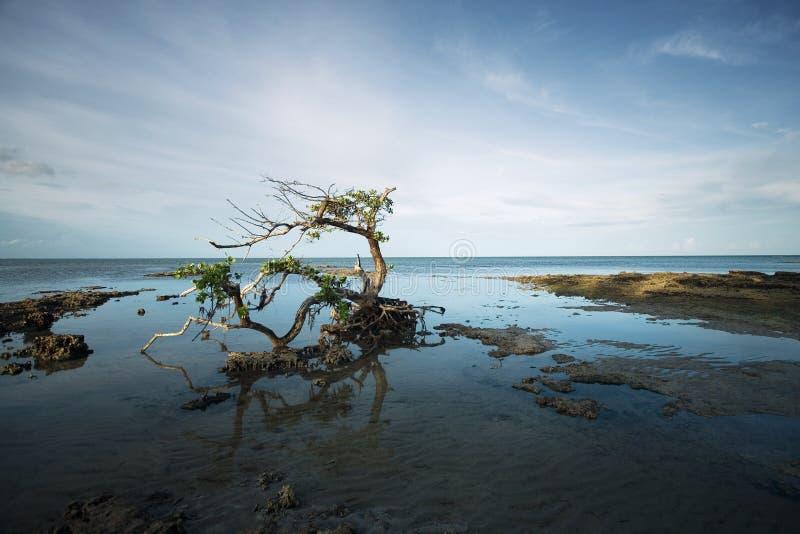 Árvore Gnarled dos manguezais fotografia de stock