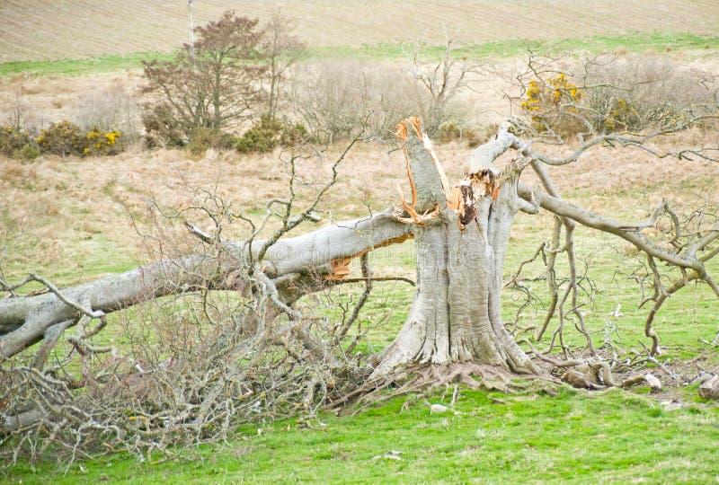 A árvore golpeou pelo relâmpago. fotos de stock