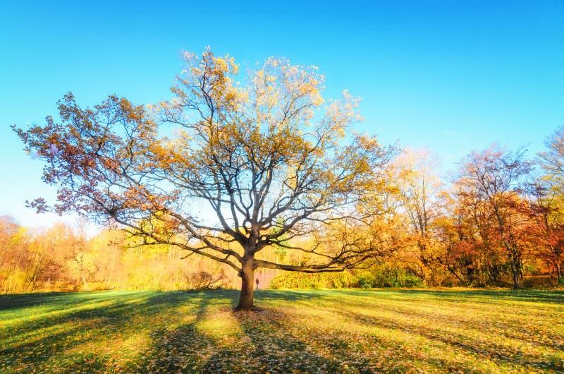 Árvore grande com folha dourada no meio do prado na ilha de Elagin do parque do outono O sol está escondendo na árvore imagens de stock