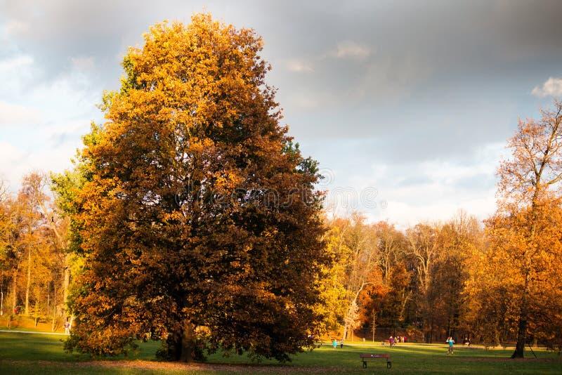 Árvore grande com folhas do amarelo e o céu cinzento fotos de stock royalty free