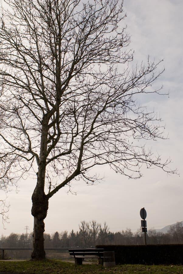 Árvore grande com ramos inoperantes fotos de stock royalty free