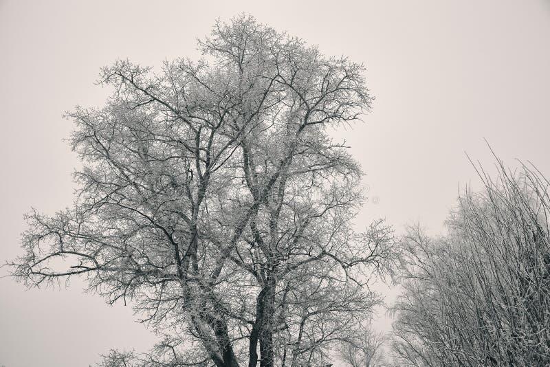 Árvore grande do inverno, ramos desencapados sem folhas, cobertas com a geada foto de stock