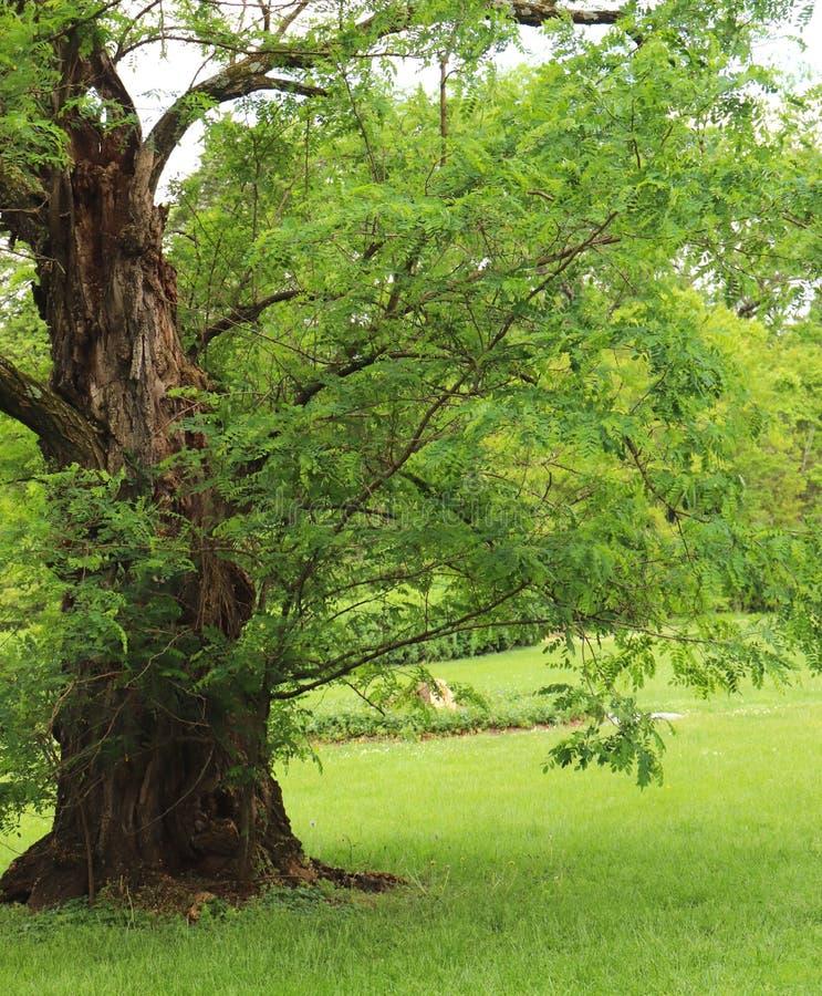 A árvore grande do tronco comanda a presença nas hortaliças naturais que cercam a foto de stock