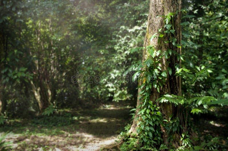 Árvore grande em florestas tropicais com luz do sol foto de stock royalty free