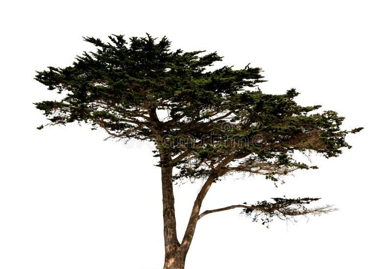 A árvore grande isolou-se imagens de stock royalty free