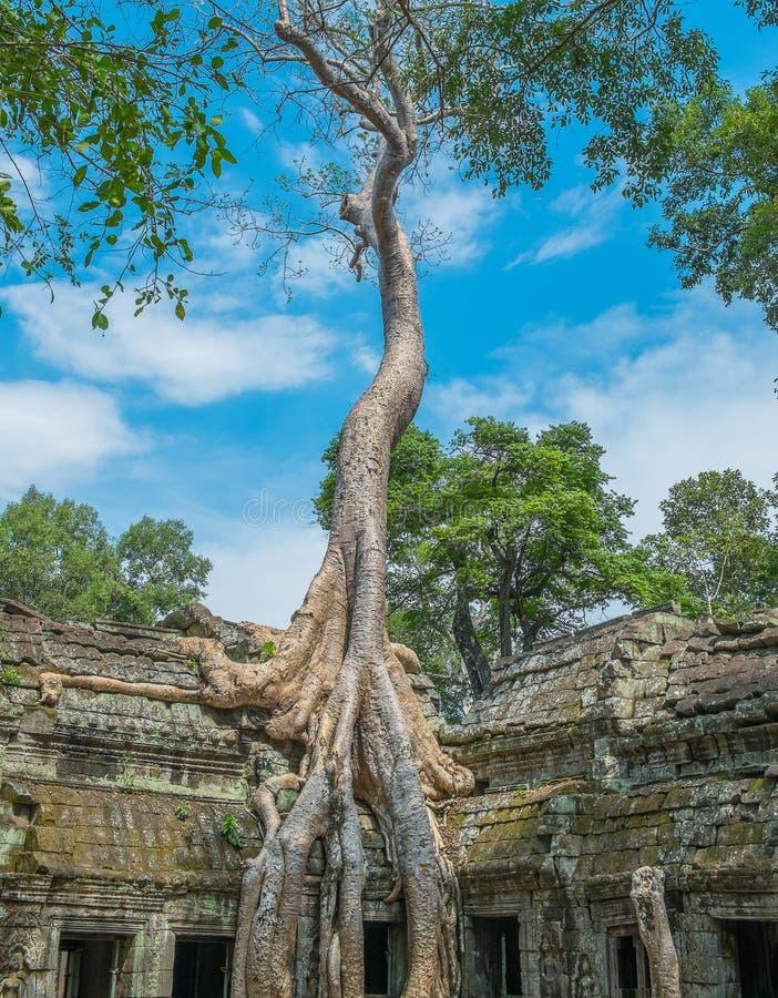 Árvore grande no templo de Ta Prohm foto de stock royalty free