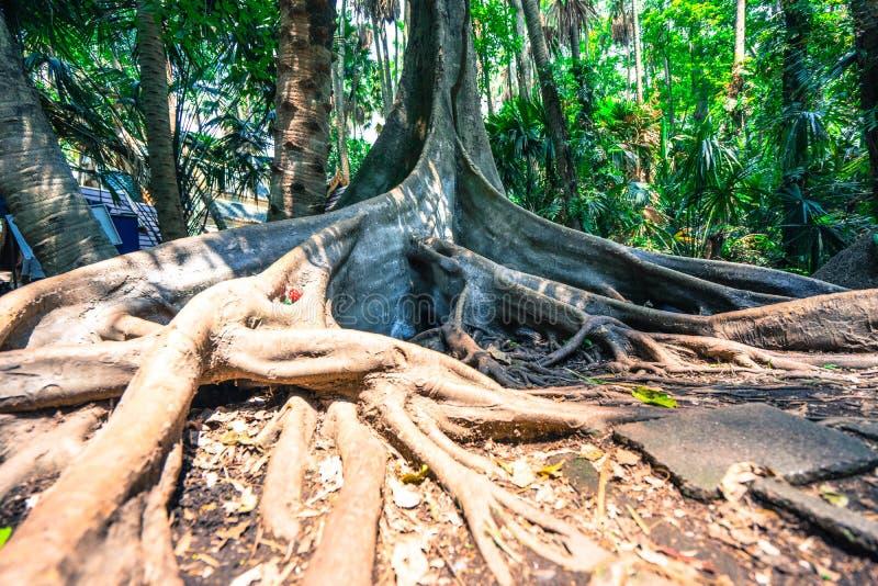 A árvore grande tem a raiz do suporte fotografia de stock royalty free