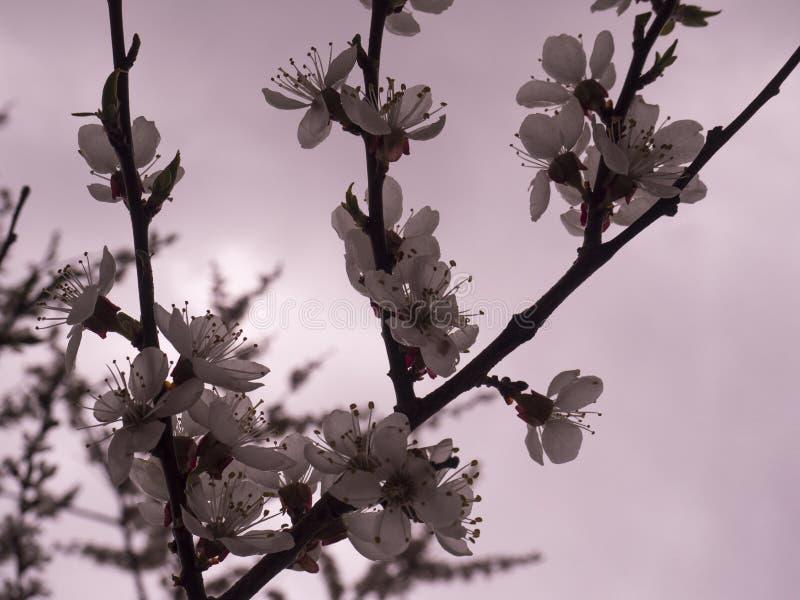 A árvore herry do  da mola Ñ floresce ramo com flores fotos de stock