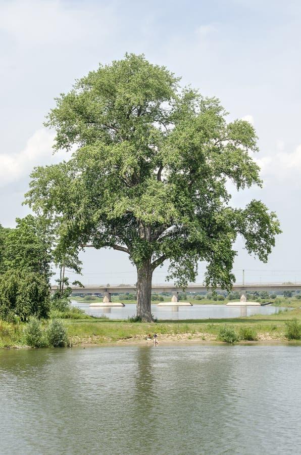 Árvore icónica nas zona sujeitas a inundações imagens de stock