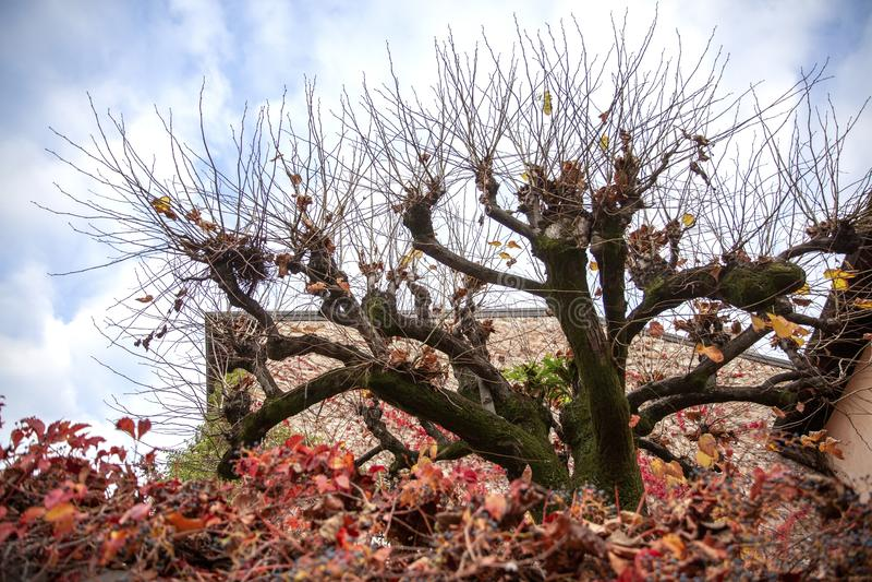 Árvore incomum em Sirmione Motriz do outono fotografia de stock