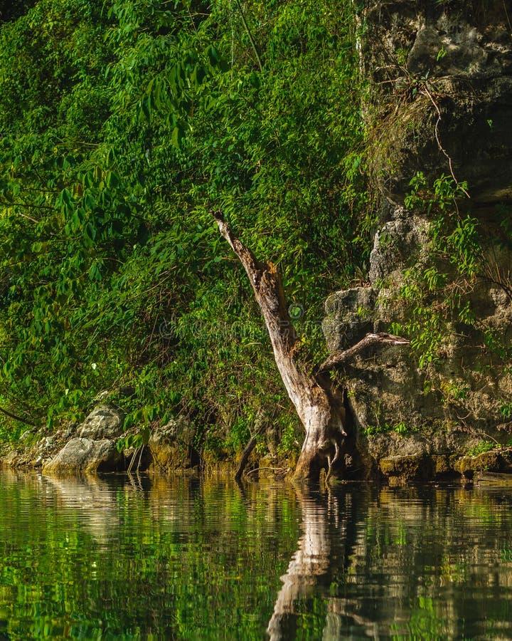 Árvore inoperante na costa de um lago da água fresca na selva em seguida foto de stock