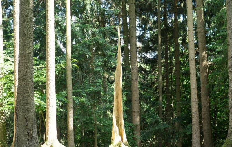 Árvore inoperante na floresta conífera fotos de stock royalty free