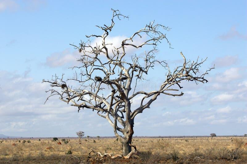 Árvore inoperante na paisagem do savanna imagens de stock