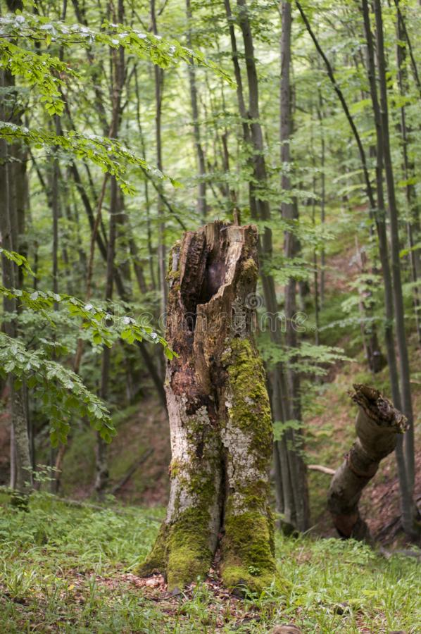 Árvore inoperante nas montanhas no Polônia - Bieszczady foto de stock