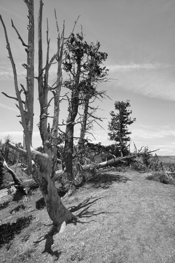 Árvore inoperante no parque nacional da garganta do bryce, Utá fotos de stock