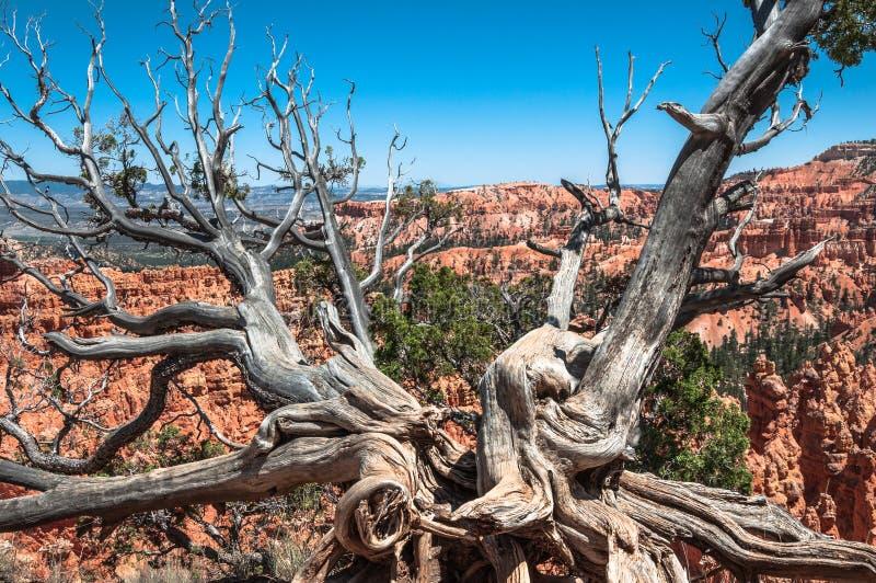 Árvore inoperante no parque nacional da garganta do bryce, Utá imagem de stock