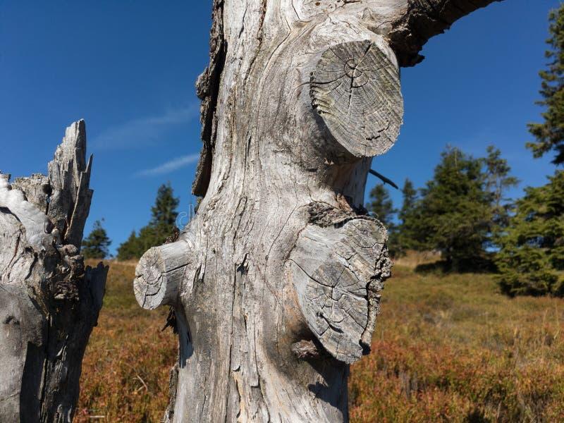 Árvore inoperante velha com tronco secado-acima e ramos cutted fotografia de stock