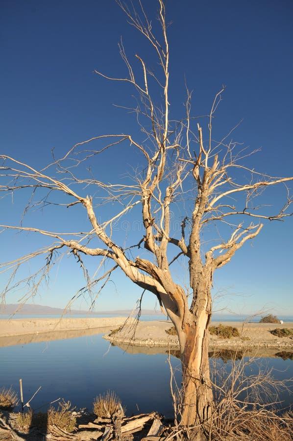 Árvore inoperante velha pelo mar de Salton imagens de stock