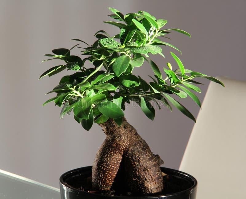https://thumbs.dreamstime.com/b/%C3%A1rvore-interna-dos-bonsais-67856942.jpg