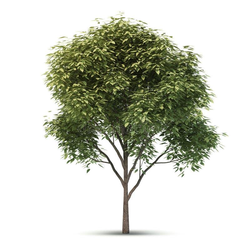 Árvore isolada. imagens de stock royalty free