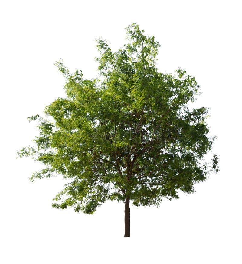 Árvore isolada com a folha verde no fundo branco fotos de stock royalty free