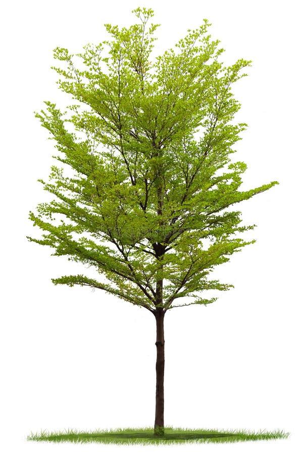 Árvore isolada de Terminalia imagens de stock royalty free