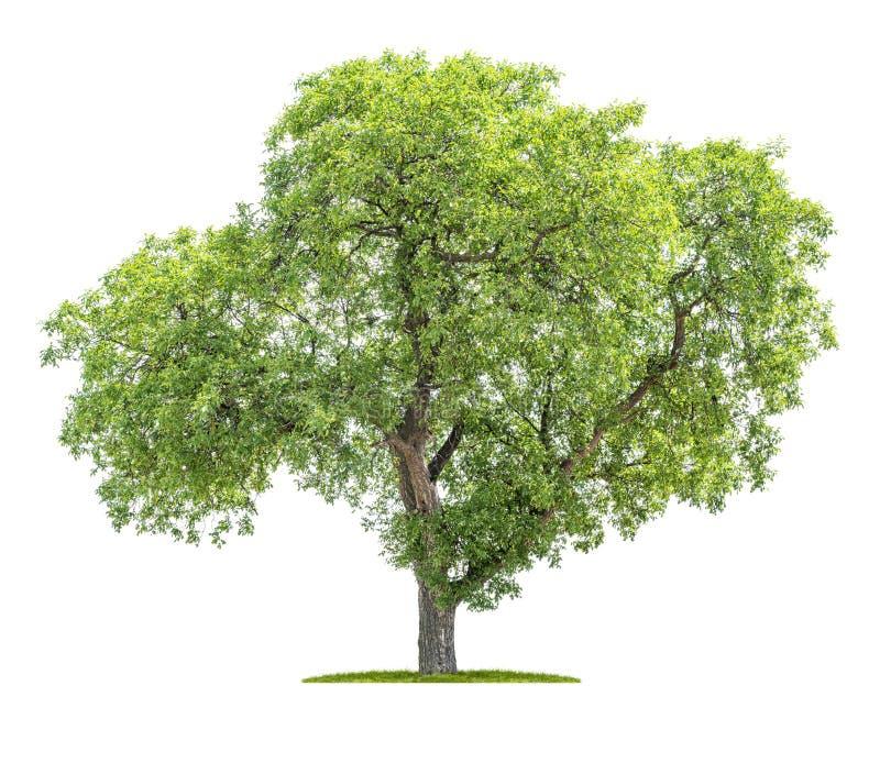 Árvore isolada em um fundo branco - juglans regia - árvore de noz imagem de stock royalty free