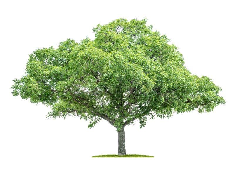 Árvore isolada em um fundo branco - juglans regia - noz foto de stock