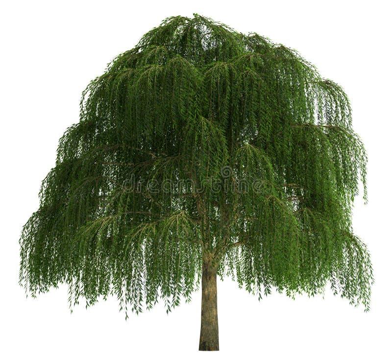 Árvore isolada no branco foto de stock royalty free
