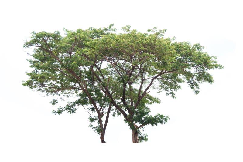 Árvore isolada no fundo branco imagens de stock