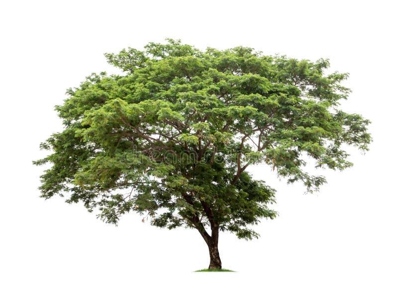 Árvore isolada no fundo branco fotografia de stock royalty free