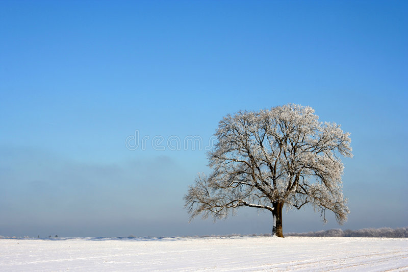 Árvore isolada no inverno imagens de stock