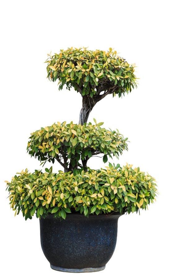 Árvore isolada no potenciômetro de argila fotos de stock royalty free