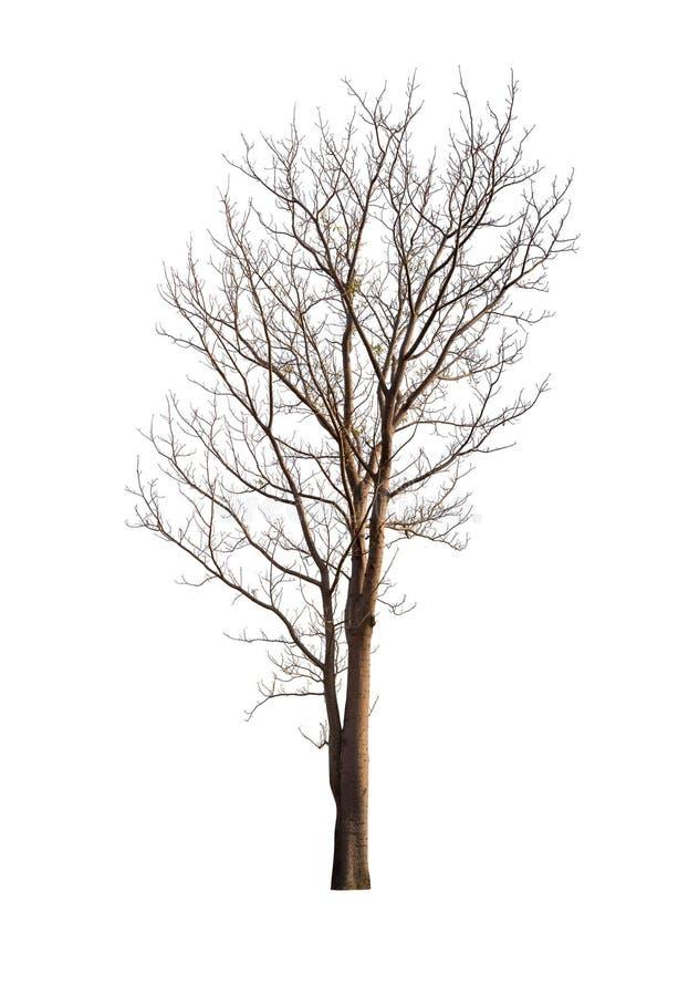 Árvore isolada sem as folhas no fundo branco fotografia de stock
