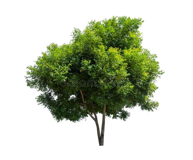 Árvore isolada sobre fundo branco foto de stock royalty free