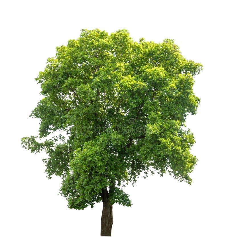 Árvore isolada sobre fundo branco imagem de stock