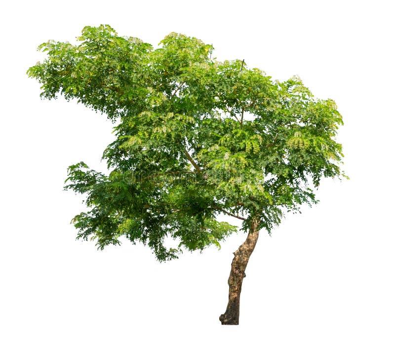 Árvore isolada sobre fundo branco fotografia de stock royalty free