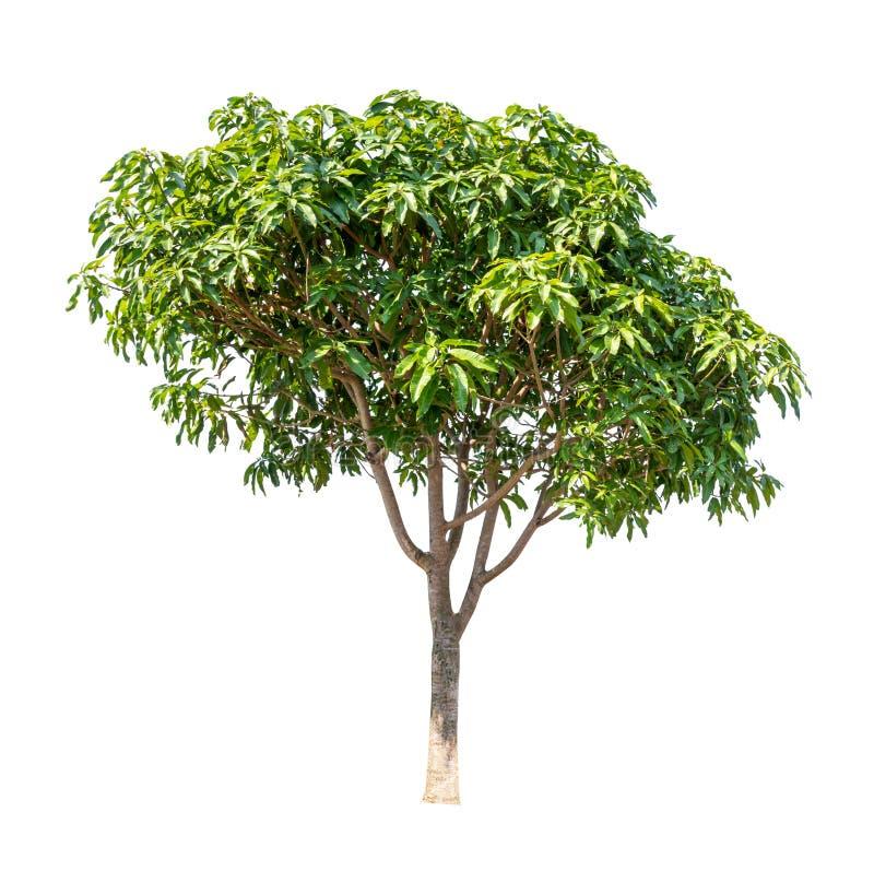 Árvore isolada sobre fundo branco imagens de stock