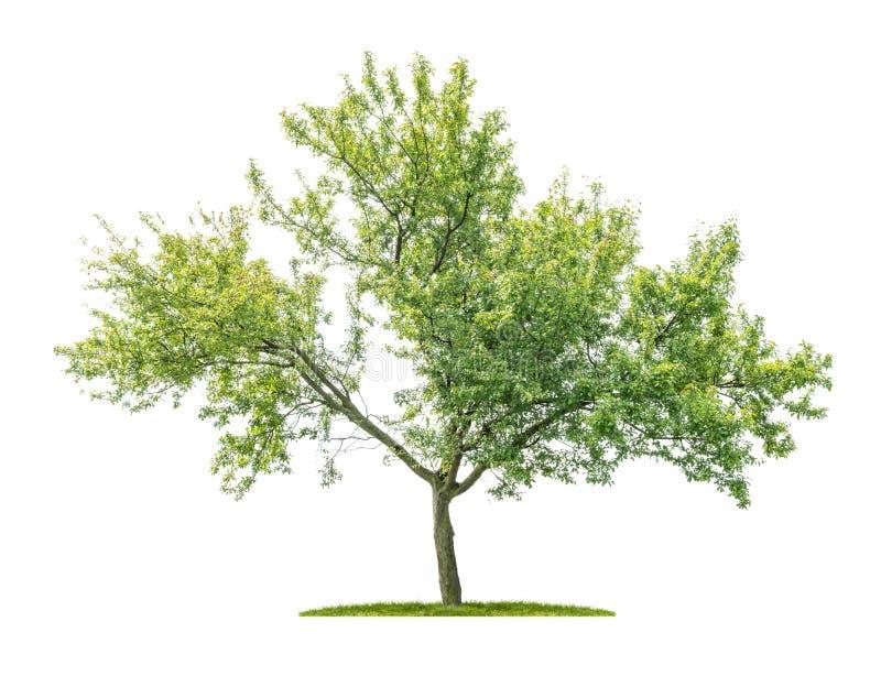 Árvore isolada sobre fundo branco - Prunus domestica - Plum tree imagens de stock royalty free
