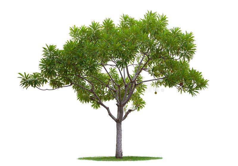 A árvore isolou-se imagens de stock royalty free