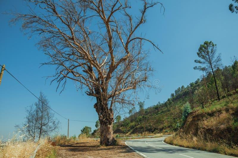 Árvore leafless enorme na borda da estrada abandonada na paisagem montanhosa foto de stock