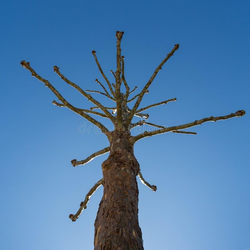 Árvore leafless estranha no céu azul foto de stock royalty free