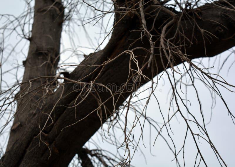 Árvore leafless grande imagens de stock royalty free