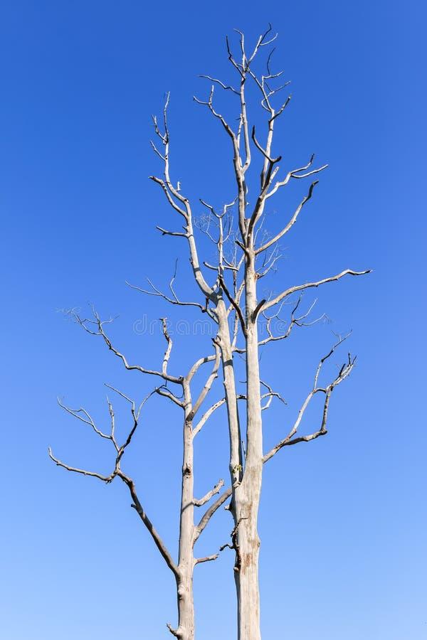 Árvore leafless grande no fundo do céu azul fotos de stock royalty free