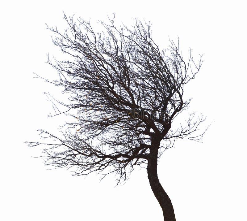 Árvore Leafless isolada fotografia de stock royalty free
