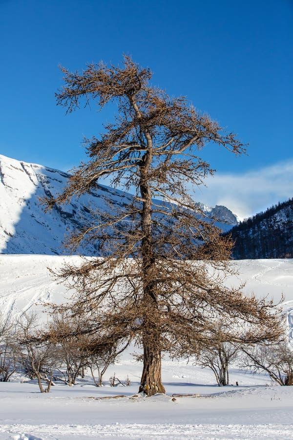 Árvore lindo no fundo das montanhas alpinas imagem de stock